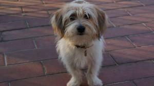 Csutkarozi-kutya-szepsegverseny(4)